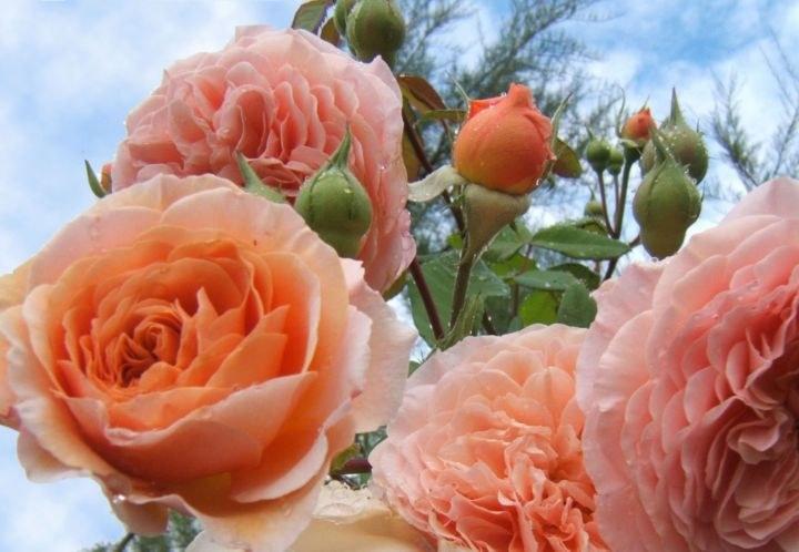 rosas botánico_resultado